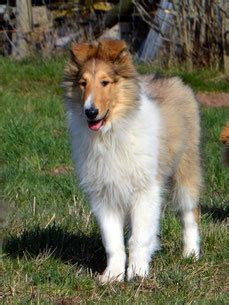 Freddy - authentic-angel-collies