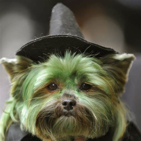 Yorkshire Terrier dog face photo and wallpaper