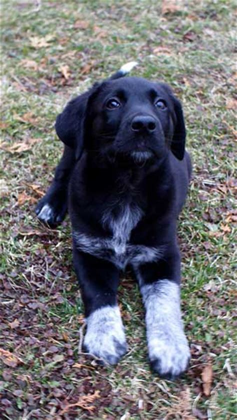 Is The Australian Shepherd Lab Mix Really One Of The Best